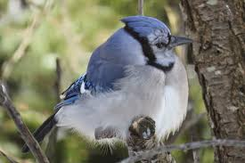Fluffed-up blue jay in winter.